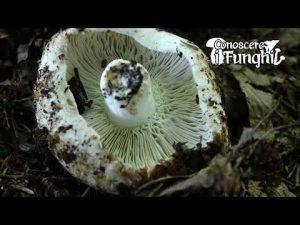 Conoscere i Funghi: Russula chloroides [ NON COMMESTIBILE ]