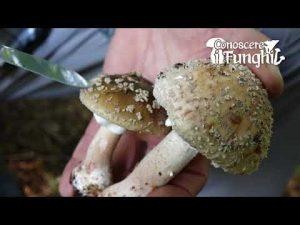 Conoscere i Funghi: Amanita rubescens [ COMMESTIBILE PREVIA COTTURA ]