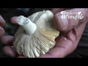 Conoscere i Funghi: Russula aurata [ COMMESTIBILE ]