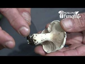 Conoscere i Funghi: Clitopilus prunulus
