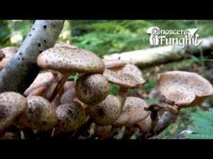 CONOSCERE I FUNGHI_25 Armillaria ostoyae 011018