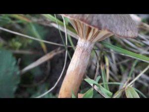 Chroomphus rutilus @ Conoscere i funghi 29.10.2016