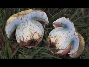 Conoscere i funghi: Boletus satanas [ VELENOSO ]