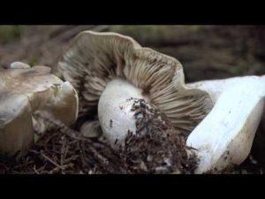 Tricholoma saponaceum @ Conoscere i funghi 17.10.2016
