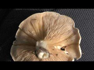 Clitopilus prunulus @ Conoscere i funghi 12.10.2016