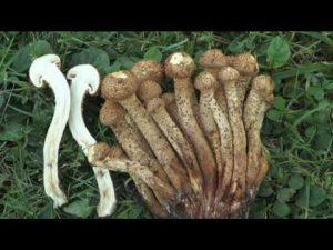 Pholiota squarrosa @ Conoscere i funghi 10.10.2016